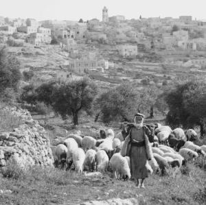 Shepherd's_sheep